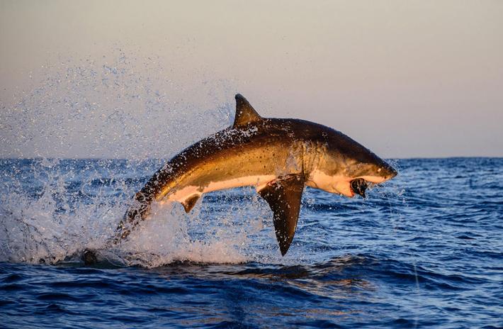 tiburon saltando