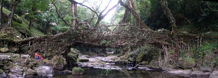 Living Root Bridges - India bridges 10 of the World's Most Beautiful and Unique Bridges Living Root Bridges india