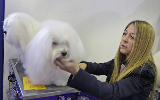 Miss P has won The 2015 Westminster Dog Show  Miss P has won the 2015 Westminster Dog Show Coton de Tulears 3202121k