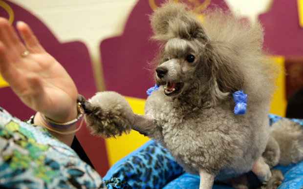 Miss P has won The 2015 Westminster Dog Show  Miss P has won the 2015 Westminster Dog Show Dog High five 3202070k