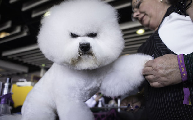 Miss P has won The 2015 Westminster Dog Show  Miss P has won the 2015 Westminster Dog Show Dogs AngryDog 3202045k