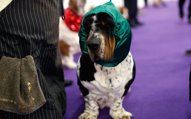 Miss P has won The 2015 Westminster Dog Show  Miss P has won the 2015 Westminster Dog Show Dogs Basset 3202181k