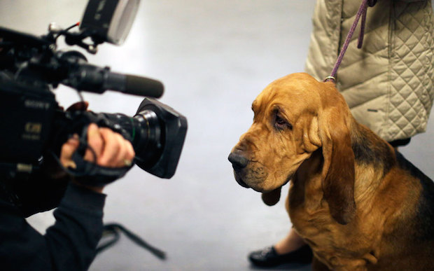 Miss P has won The 2015 Westminster Dog Show  Miss P has won the 2015 Westminster Dog Show Dogs Bloodhound ca 3202190k