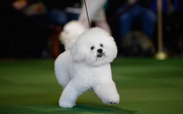 Miss P has won The 2015 Westminster Dog Show  Miss P has won the 2015 Westminster Dog Show Dogs frise 3202131k
