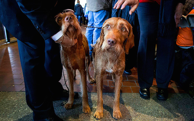 Miss P has won The 2015 Westminster Dog Show  Miss P has won the 2015 Westminster Dog Show woof Wirehaired Vi 3203514k