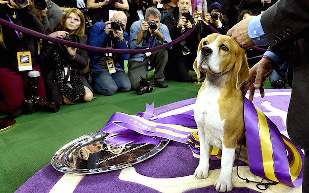 Ladies and Gentleman: The Westminster Dog Show 2015  Miss P has won the 2015 Westminster Dog Show woof beagle camera 3203544k