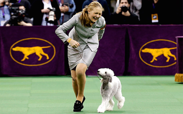 Miss P has won The 2015 Westminster Dog Show  Miss P has won the 2015 Westminster Dog Show woof bedlington 3203499k