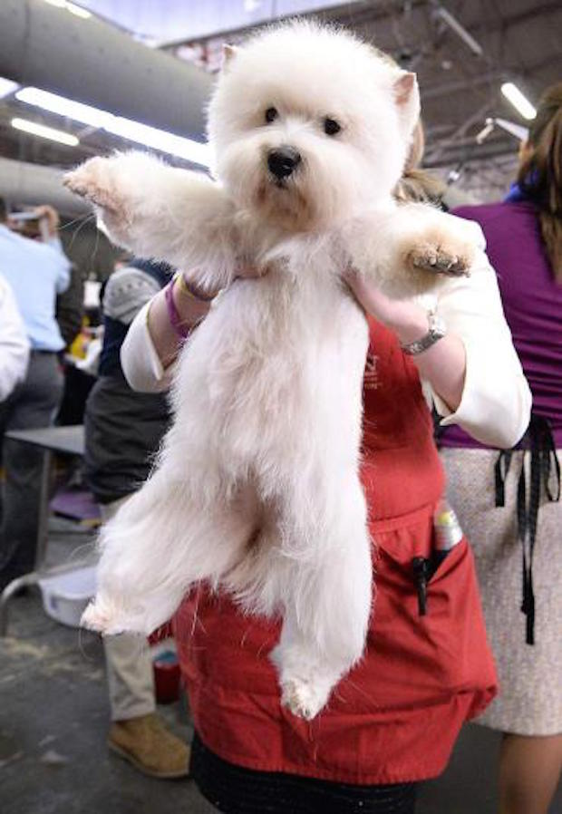 Miss P has won The 2015 Westminster Dog Show  Miss P has won the 2015 Westminster Dog Show woof highland 3203503k