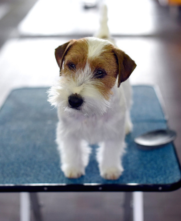 Miss P has won The 2015 Westminster Dog Show  Miss P has won the 2015 Westminster Dog Show woof jack russell 3203506k