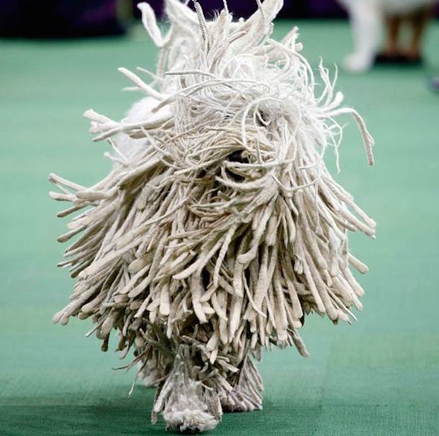Miss P has won The 2015 Westminster Dog Show  Miss P has won the 2015 Westminster Dog Show woof rasta 3203509k