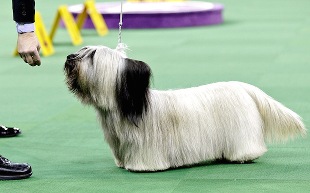 Miss P has won The 2015 Westminster Dog Show  Miss P has won the 2015 Westminster Dog Show woof skye 3203494k